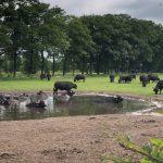 Waterbuffelboerderij D'n Buff