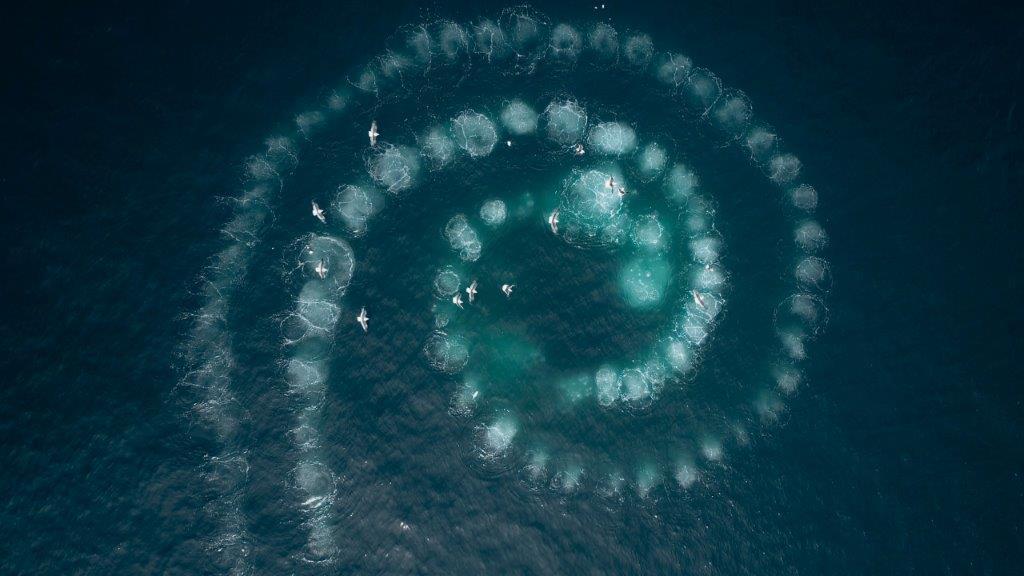BBC Earth's Antarctica bubbelnet bultrugwalvissen