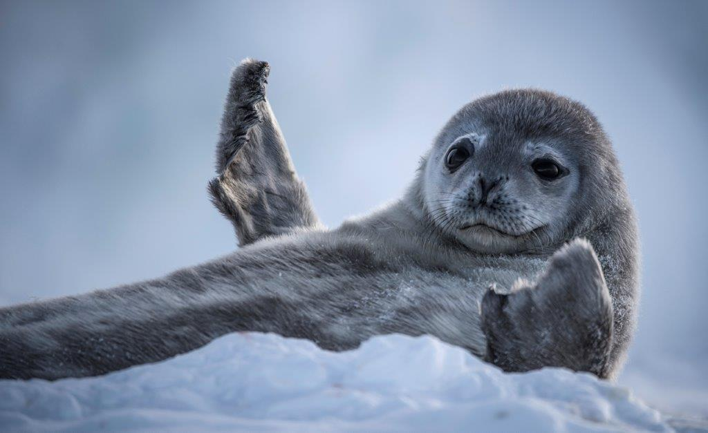 BBC Earth's Antarctica weddellzeehondpup