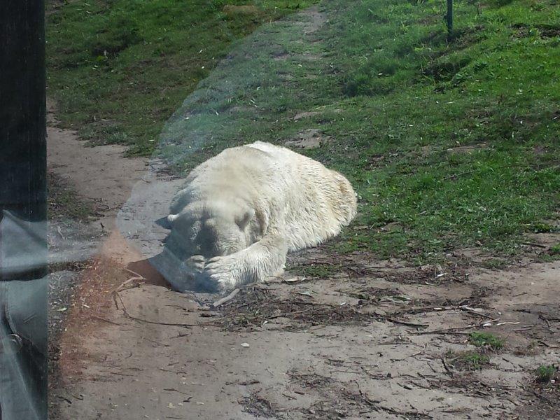 ijsbeer doet kiekeboe