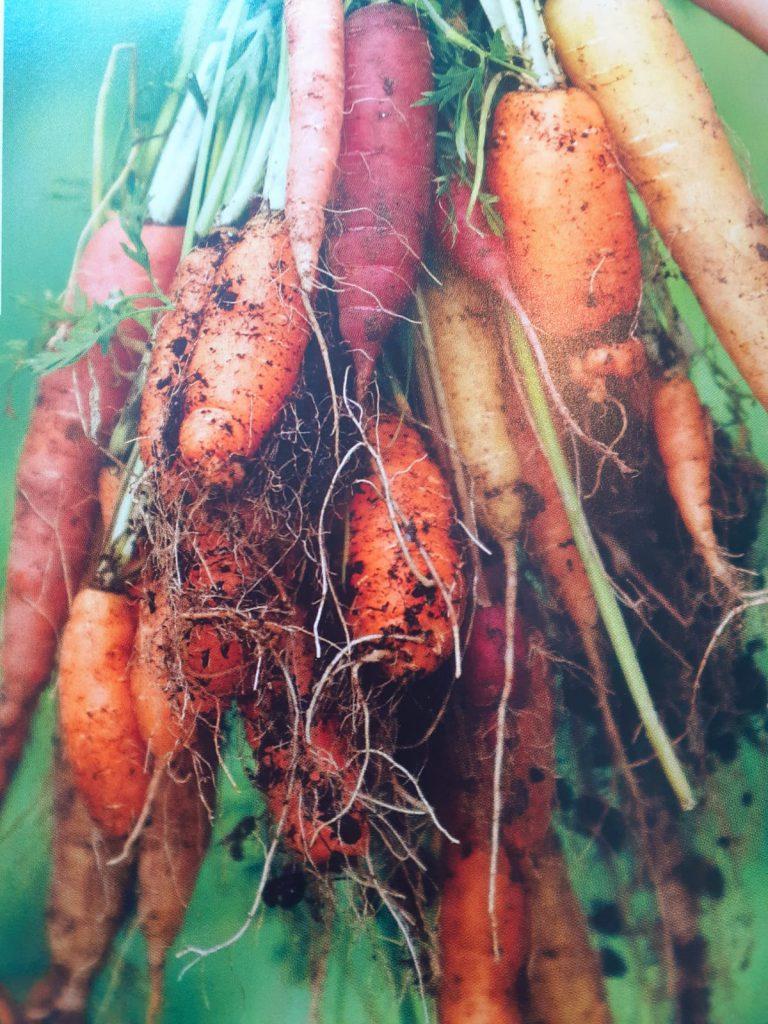 makkelijke moestuin wortels