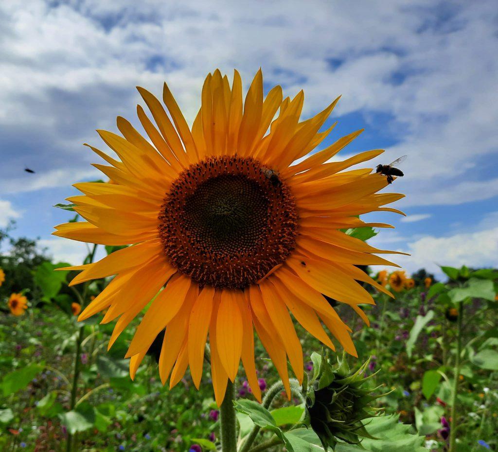 Zet iemand in het zonnetje met zonnebloemen!